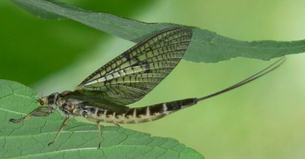 A Penn's Creek Female Green Drake Dun